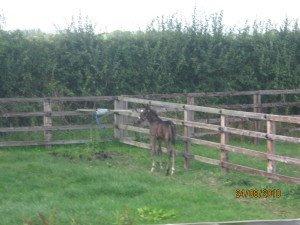 Quainton Stud foal