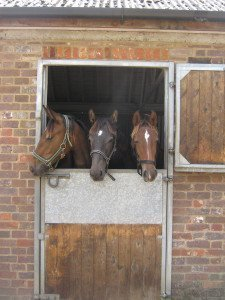 The yearlings day out (or day in) to get their feet trimmed- very exciting!
